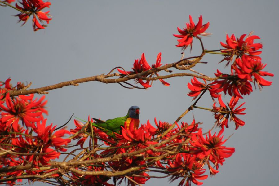 Rainbow lorikeet in a flame tree in Fremantle